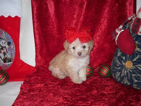 puppies for sale midland tx 29 best small designer puppies for sale images on