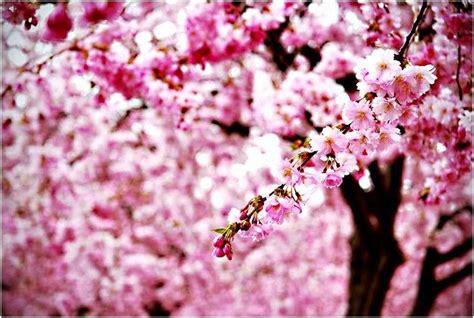gambar wallpaper anime jepang gambar wallpaper bunga