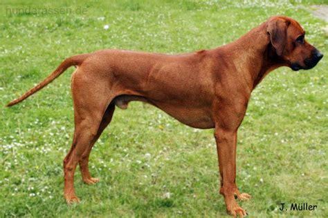 how to a ridgeback rhodesian ridgeback pictures posters news and on your pursuit hobbies