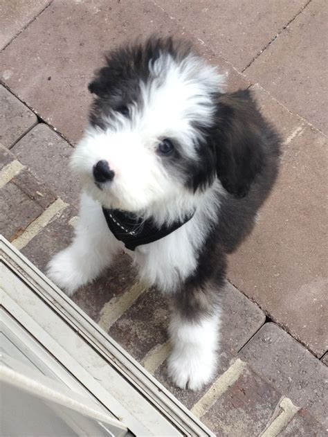 mini sheepadoodle puppies for sale sheepadoodle sheepdog poodle mix info miniature puppies pictures