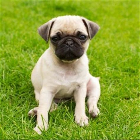 common pug health issues 12 common breeds their health issues