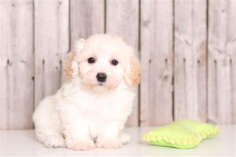 pooton puppies for sale view ad poo ton puppy for sale ohio mount vernon usa