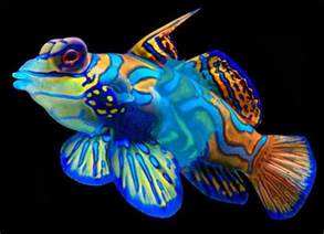 brightly colored fish amazing color the mandarin fish freshwater and