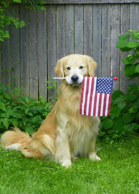 golden retriever flags flag day golden retriever near the fence photo and wallpaper beautiful flag day