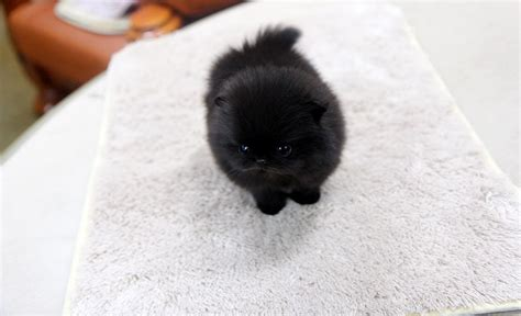 how big is a teacup pomeranian high quality teacup black pomeranian puppy flickr photo