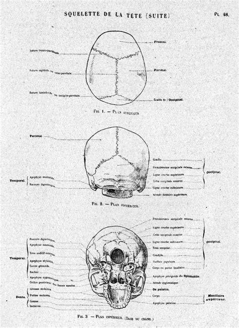 crâne - Dictionnaire des Sciences Animales