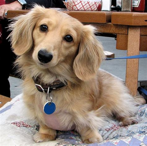 longhaired dachshund puppy haired dachshund haired dachshunds