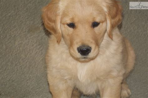 golden retriever tulsa jaxon golden retriever for sale in tulsa ok 4448038321 4448038321 dogs on