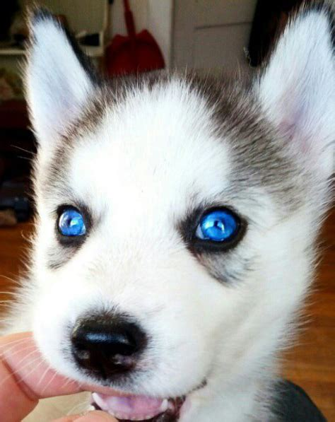 alaskan puppies all white husky puppies alaskan husky puppies adoption husky puppies breeds picture