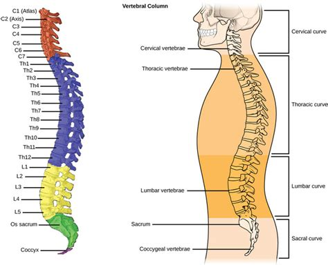 The Spinal Column Is Divided Into How Many Sections by Types Of Skeletal Systems Boundless Biology