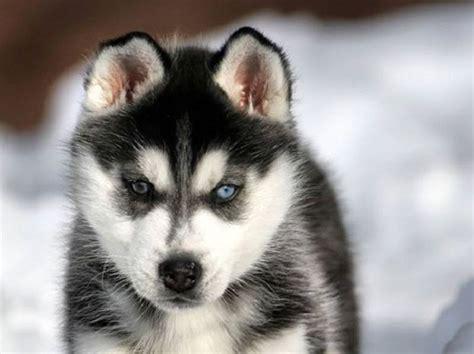 elenco cani da appartamento cani piccoli da appartamento cani da appartamento pi