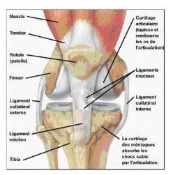 semaines 44 45 anatomie du genou marche nordique