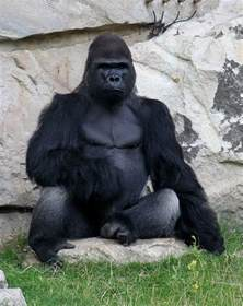 gorilla gorillas interesting facts and pictures all wildlife