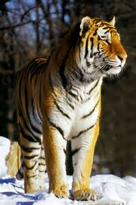 siberian tiger standing in the wild tiger facts and