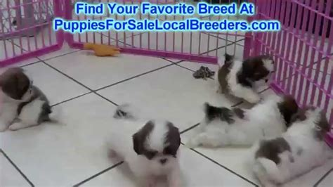 shih tzu puppies for sale in winston salem nc shih tzu puppies for sale in winston salem county carolina nc 19breeders