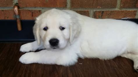 golden retriever puppies white white golden retriever puppies brit boys