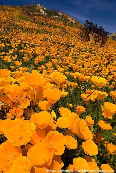 california poppy bloom   hills  san diego county