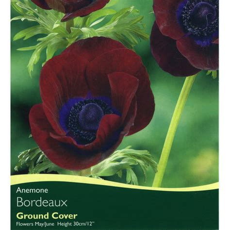 anemone bordeaux bulbs anemone bordeaux bulbs for sale mail order