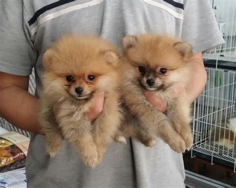 2 month pomeranian puppy pomeranian puppies sold 2 years 3 months 2 teacup pomeranian puppy from shah