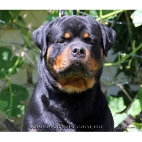 rottweiler puppies arkansas legendehaus rottweilers rottweiler breeder in rock arkansas listing id