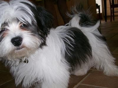shih tzu curl 316 best images about breeds alphabetical on