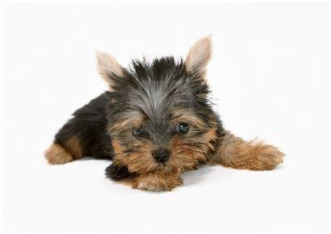 yorkie terrier puppies puppy dogs terrier puppies