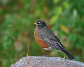 wisconsin state bird flickr photo sharing