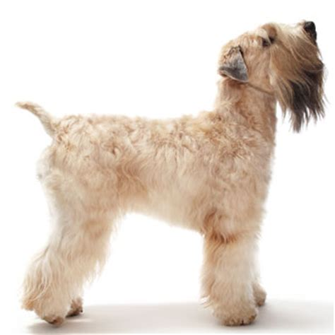 grooming a soft coated wheaten terrier