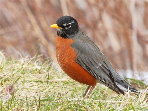 michigan state bird the american robin michigander