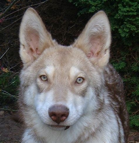 saarloos wolfdog puppies for sale pin saarloos wolfhound puppies for sale usa on