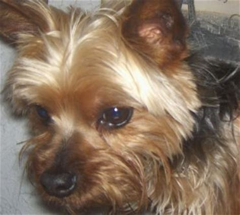 silver back yorkie 18 best images about pups on coats cavapoo puppies and yorkie