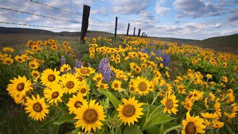 sunflower fields sunflower field wallpaper 236287