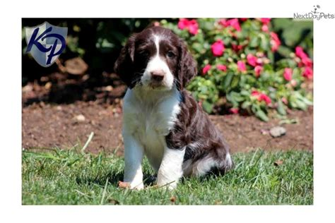 springer spaniel puppies for sale near me springer spaniel puppy for sale near lancaster pennsylvania 2a527085 6cd1