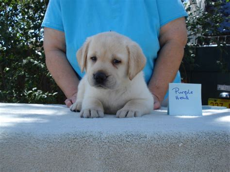 puppies for sale albuquerque labrador puppies for sale nm images breeds picture