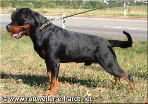rottweiler tails american rottweiler with www pixshark images galleries with a bite