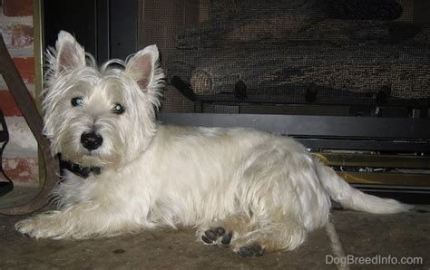 Do West Highland Terriers Shed by West Highland White Terrier Breed Information And Pictures