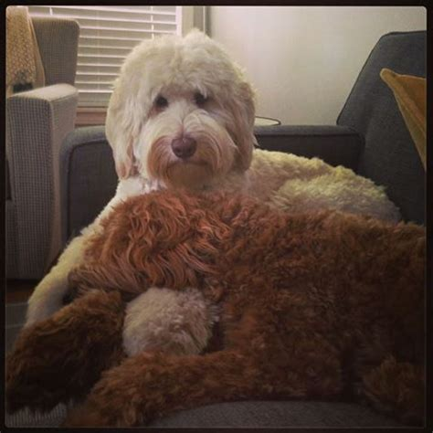 labradoodle haircut pictures pin by carla millares on labradoodle haircut pinterest