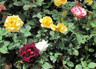 taman swargaloka mawar