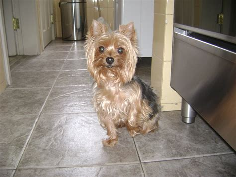 history of yorkies file yorkie standing jpg wikimedia commons