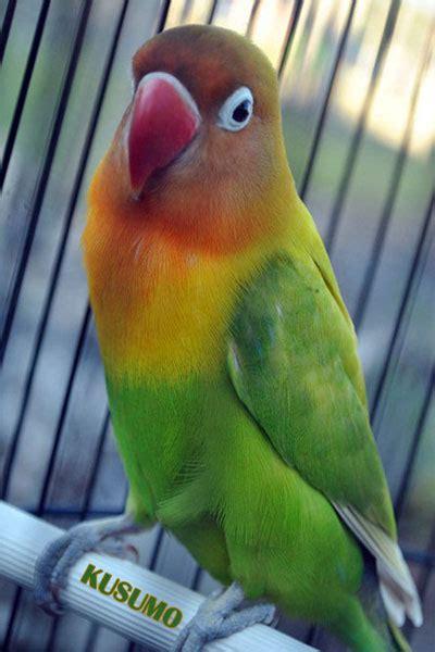 Krodong Lovebird Bukan Murai 4 cara merawat lovebird harian agar ngekek panjang kicau burung