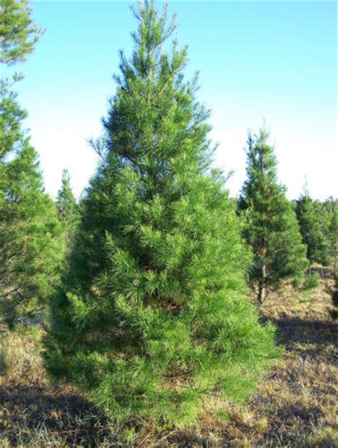 tree types at songer s christmas tree farm