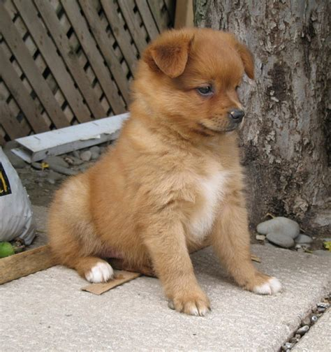 pomeranian cross pomeranian crosses puppies for sale curious puppies