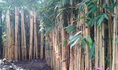 jual tanaman bambu hias aneka tanaman bambu hias
