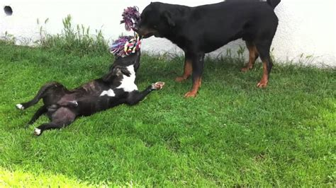 pitbull vs rottweiler fight quelques liens utiles