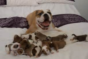 dog c section cost juma the bulldog gives birth to 14 cute puppies and is