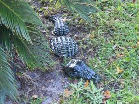 3pc large lifelike alligator garden statue by