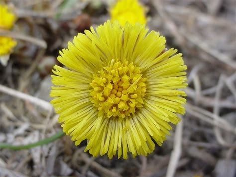 fiori simili alle margherite una pianta simile alla margherita che aiuta il nostro