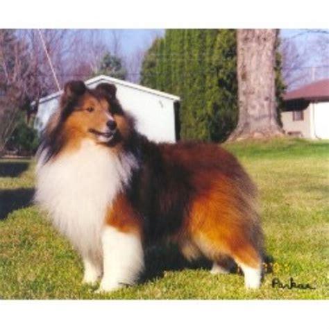 breeders in wisconsin parkae shelties shetland sheepdog breeder in shiocton wisconsin listing id 11792