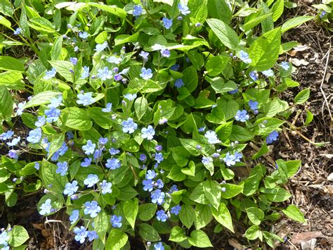 file omphalodes verna creeping forget me not