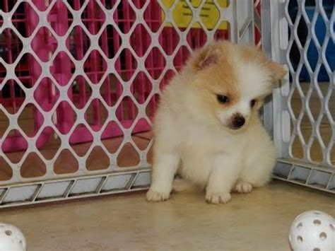 puppies for sale gulfport ms pomeranian puppies dogs for sale in gulfport mississippi ms 19breeders biloxi